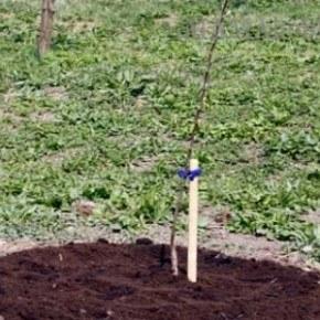 Ошибки при посадке деревьев и кустарников