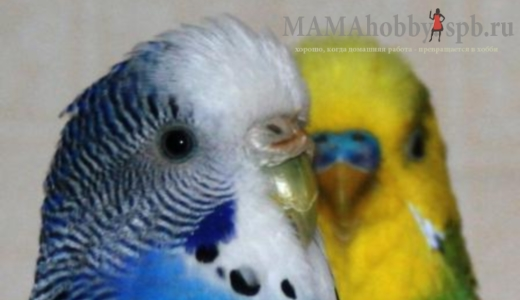 уход за волнистым попугаем